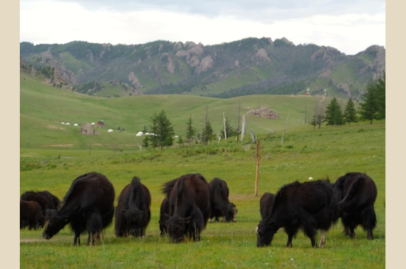 Yaks grazing at Terlj National Park