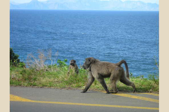 You may meet local baboons along the road