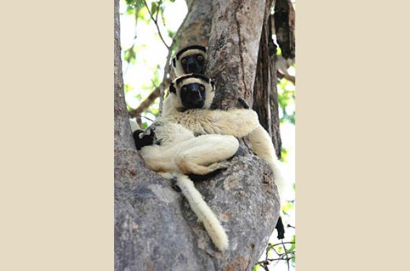 Verreauxs Sifika Lemur