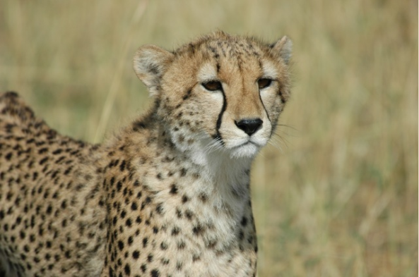 If you're lucky, you'll spot a cheetah