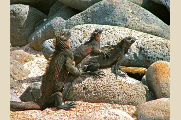 Galapagos marine iguanas welcome you