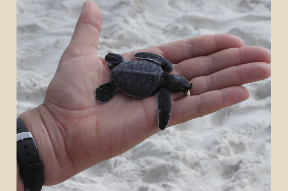 Depending on the season, you may see sea turtle hatchlings