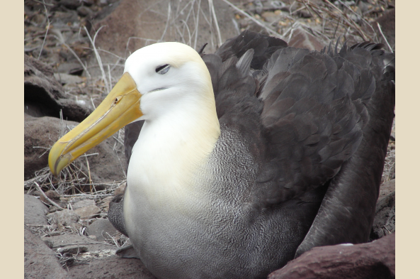 Look for the waved albatross, found only on Espanola