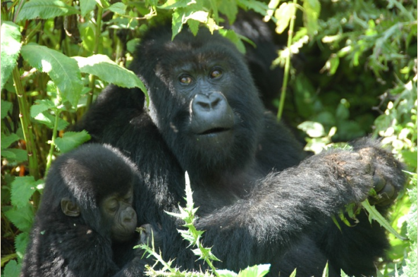 Visiting the gorillas is a transformative experience