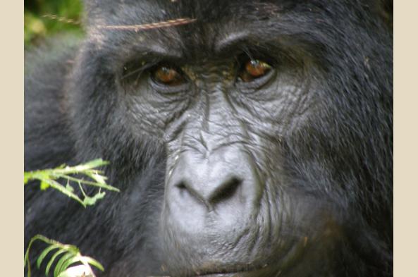 Encounter rare Mountain Gorillas, a highlight of the trip