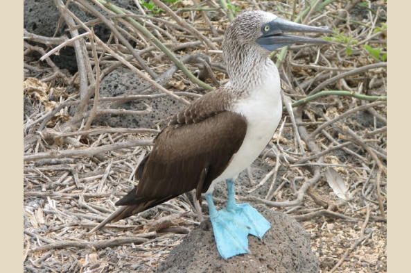 North Seymour has abundant blue-footed boobies