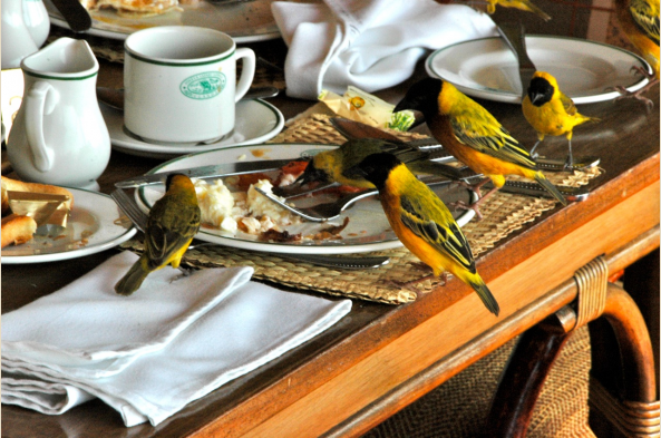 Breakfast with Slender-billed and Yellow-backed Weavers