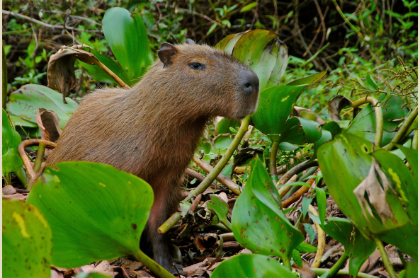 Spot capybara (above), caimans and river otters.