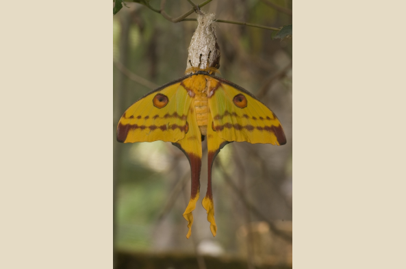 Comet moth (photo by Joseph Tenne)