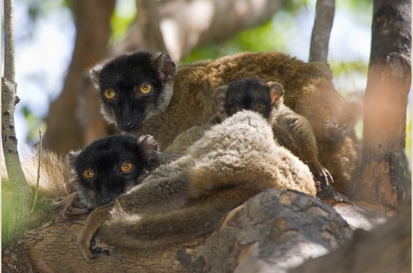 Common Brown Lemurs (photo by Joseph Tenne)