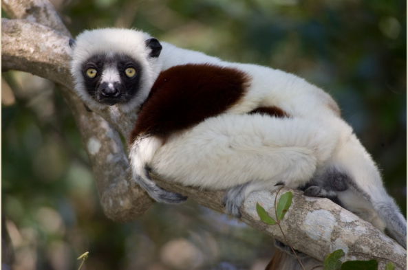 Cockerel's Sifaka Lemur (photo by Joseph Tenne)