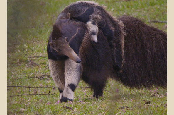 Driving in 4-wheel drives on the tracks of the Pantanal, you may encounter a Giant Anteater and her baby.
