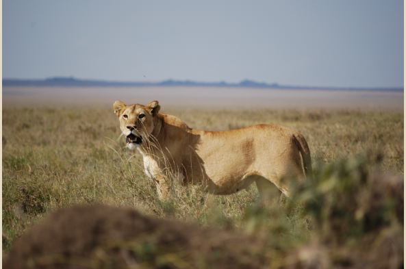 The alert lioness