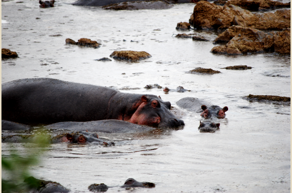 The most dangerous animal in Africa - the hippo