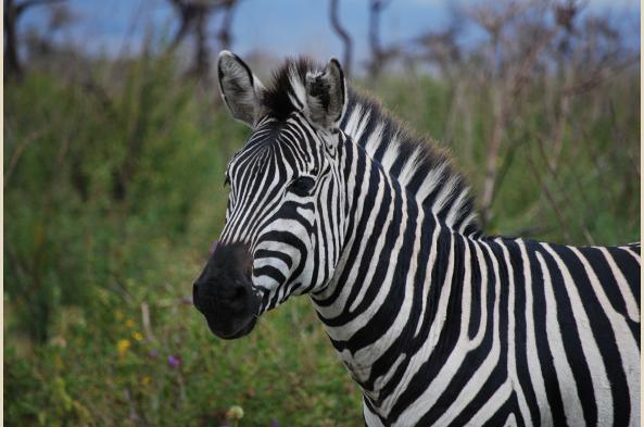 Zebras are everywhere!