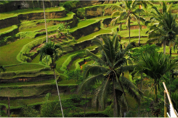 Driving across the center of Bali, feast your eyes on the sculpted green rice terraces covering the mountain slopes