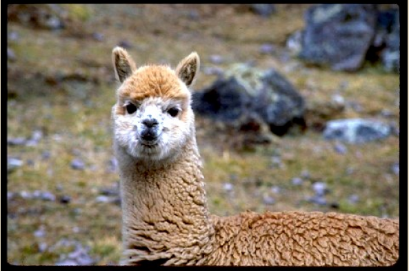 See llamas at Awana Cancha Exhibition Center