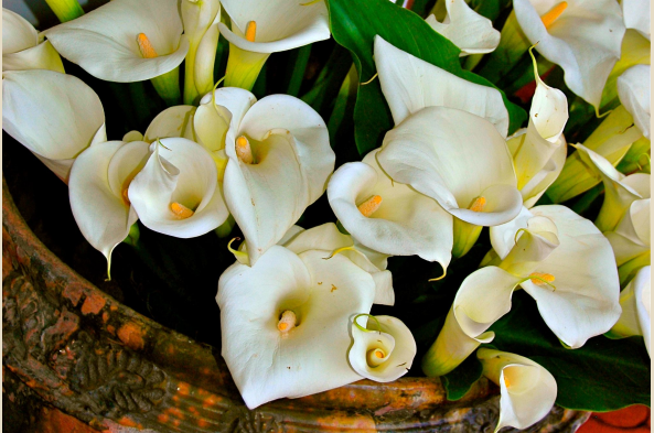 Note abundant displays of native-grown calla lilies.