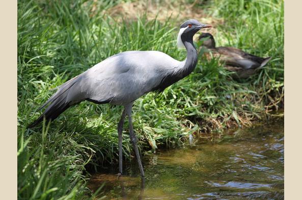 Experience huge flocks of Demoiselle cranes (photo by M. Field)