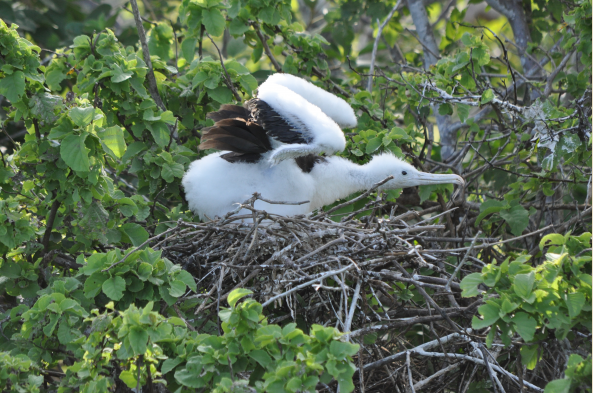 Depending on the time of year, you may see frigatebird chicks such as this