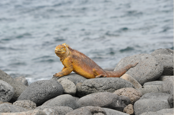 Look for large land iguanas as you explore