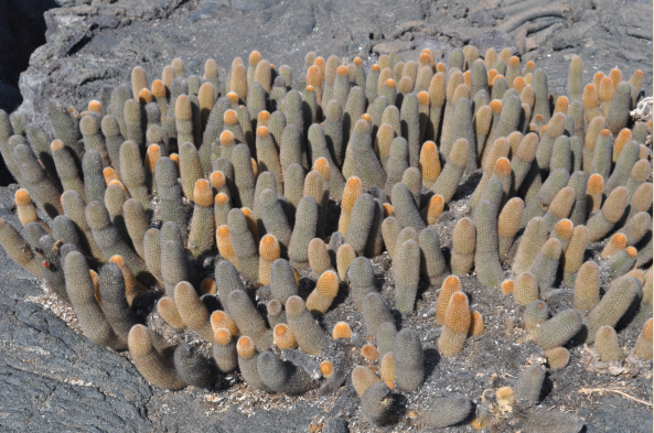 Visit young, pristine Fernandina, and see colonnizing plants, including lava cactus