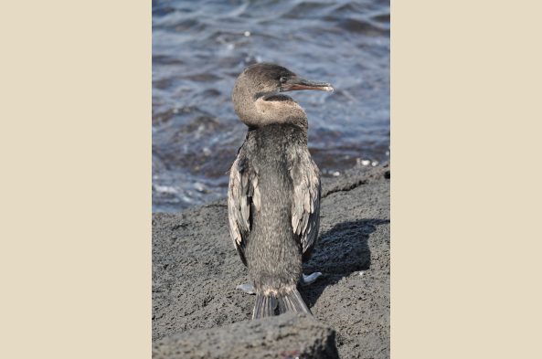 The flightless cormorant is found only in this small corner of the world