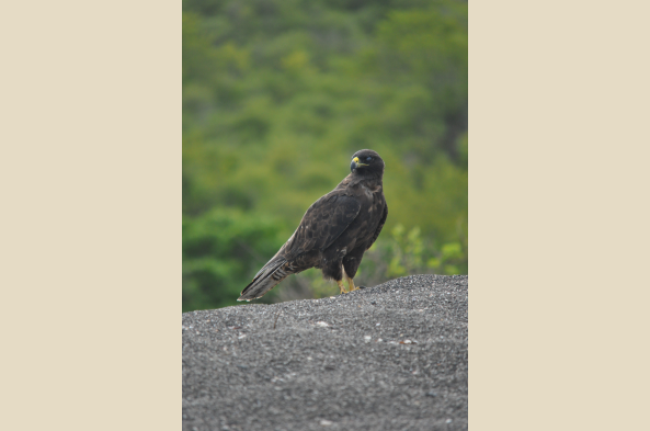 See the Galapagos hawk on Isabela Island