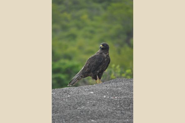 See the Galapagos hawk on Isabela Island