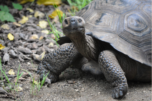 Look for Santa Cruz's wild tortoises