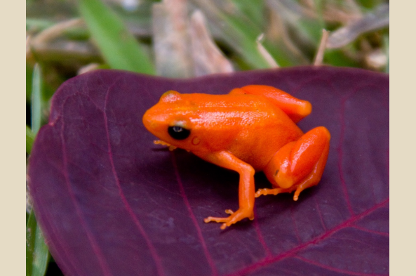 Golden Mantella Frog (photo by Joseph Tenne)