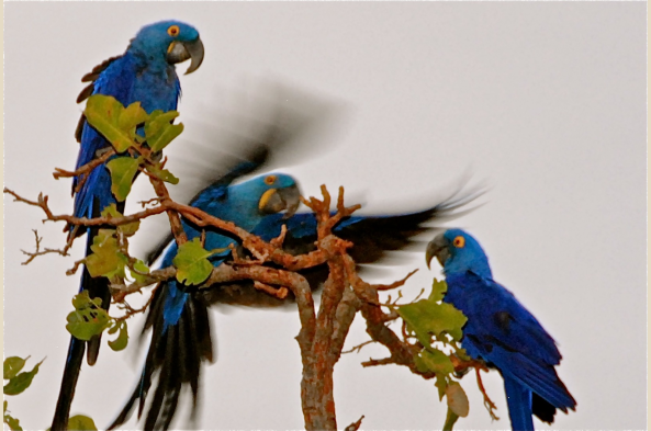In the Pantanal, your guide will lead you at dusk to watch scores of hyacinth macaws -- the world's largest macaws -- coming in