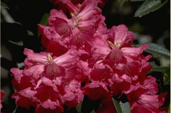 See explosions of rhododendron blooms in the spring