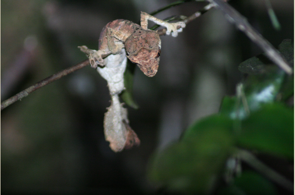Leaf-tailed gecko.