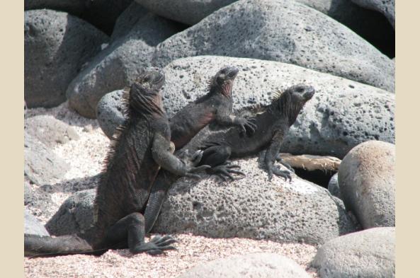Iguanas enjoying some sun