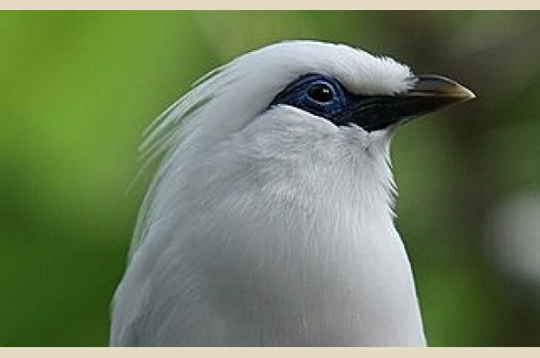 Bali Barat National Park is one of the last homes of the Bali mynah