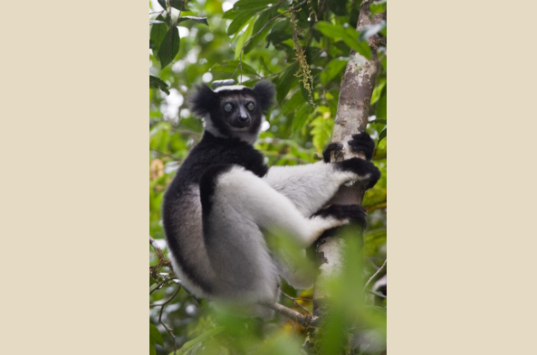The highly-endangered Indri Indri Lemur (photo by Joseph Tenne)