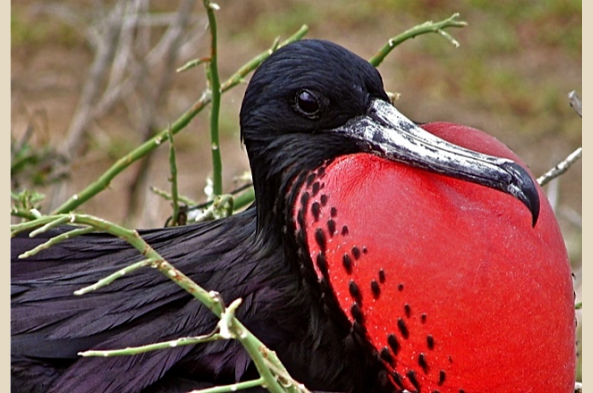 Get a close-up of a Great Frigate bird