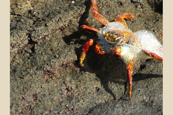 Sally Lightfoot Crab fresh out of the surf