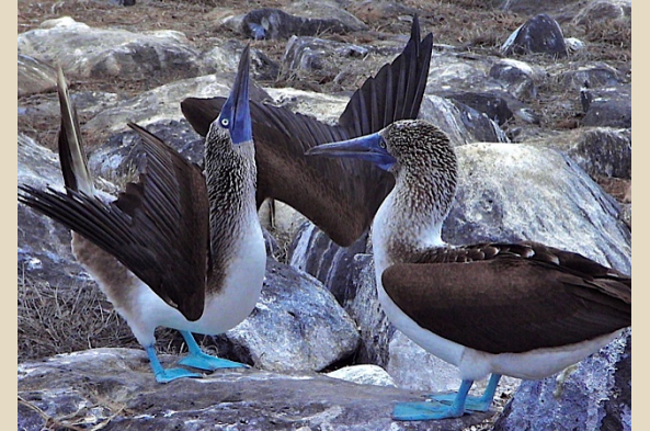 Even MORE Blue-footed Boobies