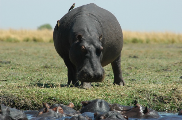You may see hippos