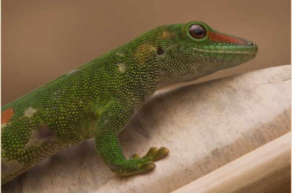 Large Green Day Gecko (photo by Joseph Tenne)