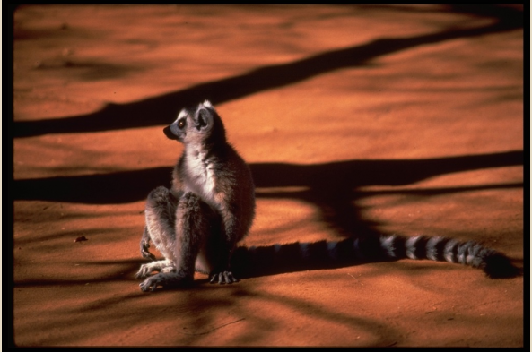 Lemur in sun