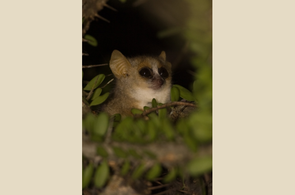 Mouse lemur (photo by Joseph Tenne)