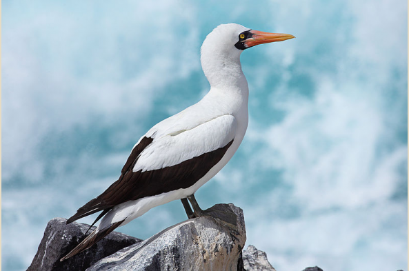 Look for the Nazca booby, as well as blue and red footed, on Genovesa