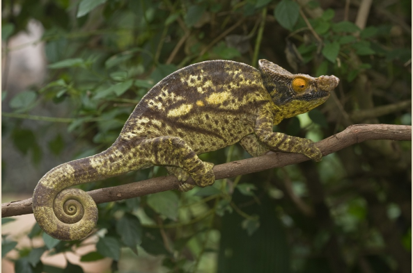 Parson's Chameleon (photo by Joseph Tenne)