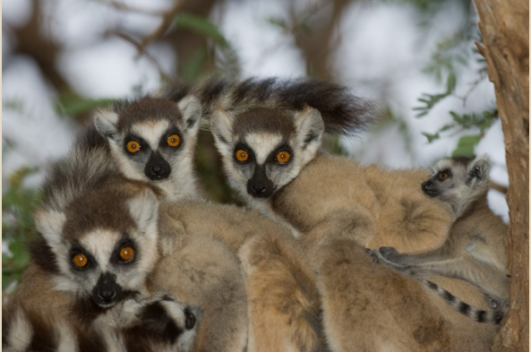 Pile of Ring-Tailed Lemurs (photo by Joseph Tenne)