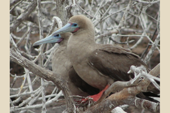 Red-footed boobies on Genovesa