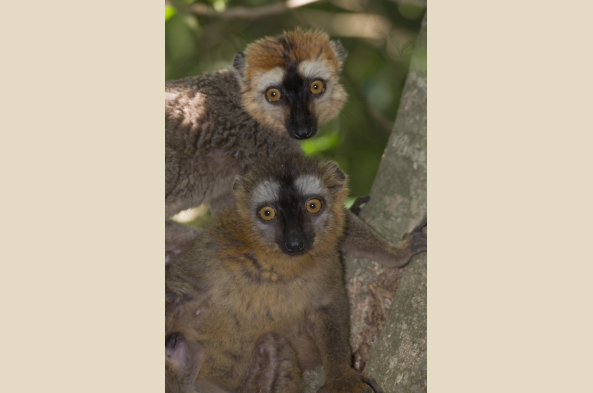 Red-Fronted Brown Lemurs (photo by Joseph Tenne)