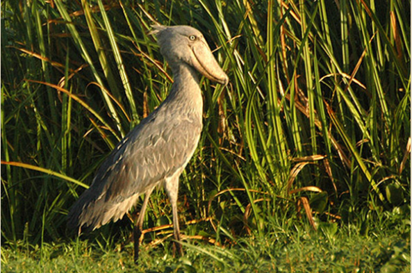 Seek out the Shoebill Stork (photo by Tom Tarrant)